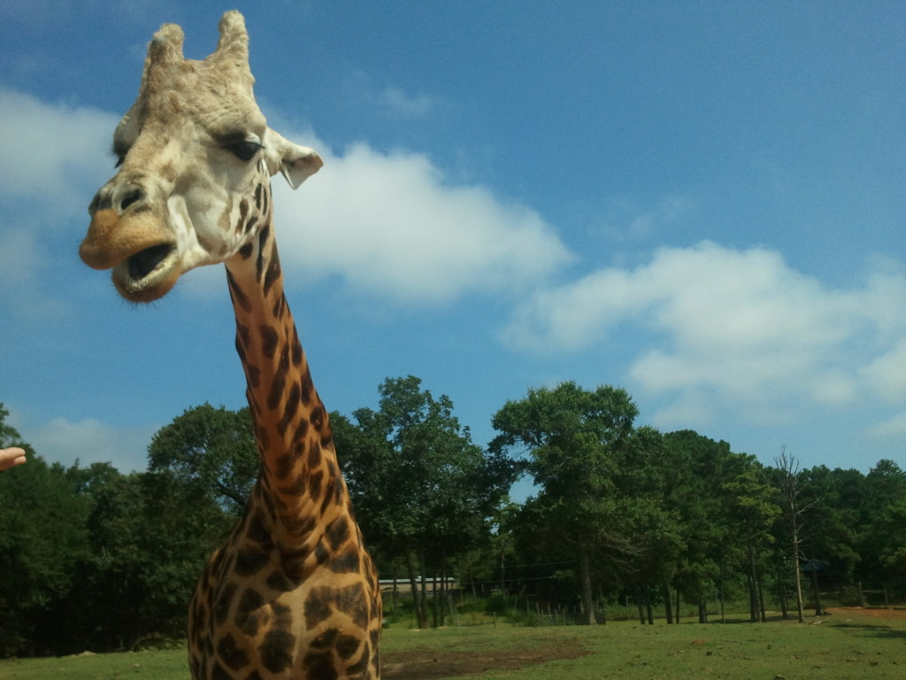 To the left of the image, a view of the head and neck of a giraffe. The giraffe's mouth is slightly open. Behind him the sky is deep blue with two large puffy clouds. In the background on the bottom half of the photo is a dense row of dark green trees. The ground is grassy.